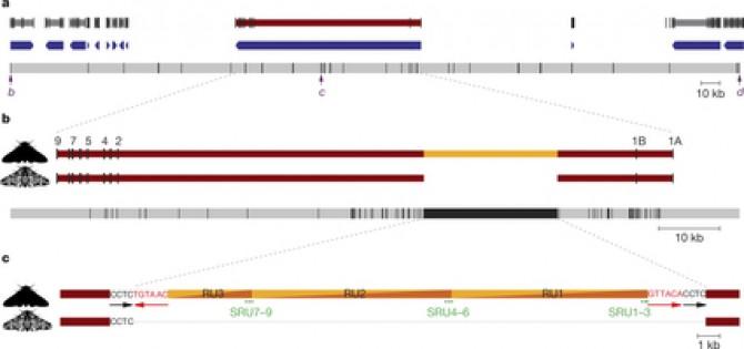 얼룩나방의 날개 색 변이를 일으킨 유전자가 마침내 규명됐다. 영국 리버풀대 연구자들은 2011년 얼룩나방의 17번 염색체의 40만 염기 영역 안에서 일어난 변이가 원인이라고 밝혔다(위). 그 뒤 범위를 좁히는 연구를 진행해 마침내 코텍스라는 유전자의 인트론에 2만2000 염기 크기의 전이성 인자(가운데 노란색 부분)가 끼어들어갔음을 확인했다. 아래는 전이성 인자의 구조를 상세히 규명한 데이터다.   - 네이처 제공